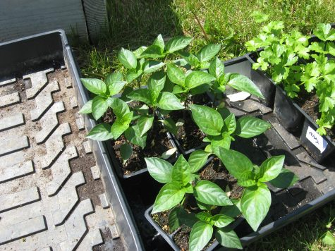 January is a great time to start peppers