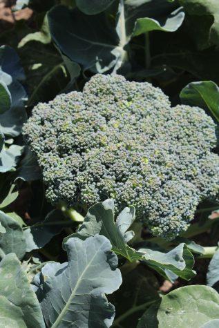Plant Broccoli as seedlings in Janaury