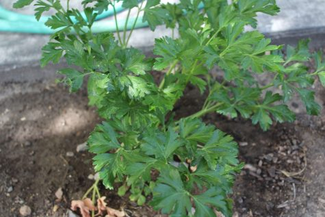 What to Plant in January Growing Parsley