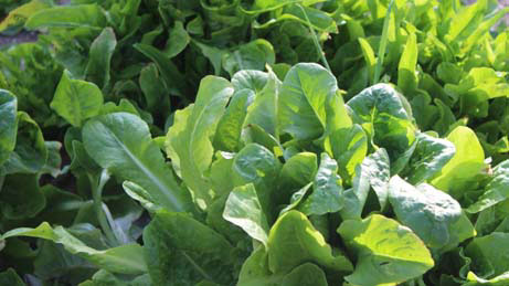 What to Plant in January - Growing Lettuce