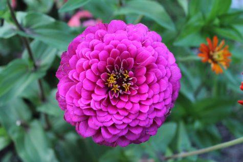 Beautiful Purple Zinnia