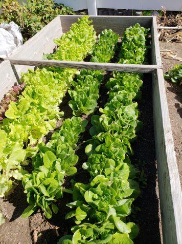 Planting Lettuce Seedlings in February