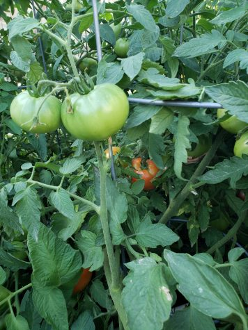 Growing tomatoes in Zones 7 and 8