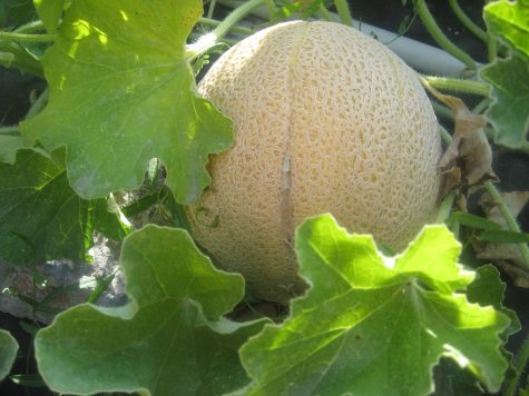 Plant some cantaloupe or other melons in April