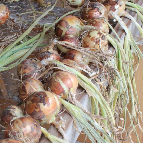 Get your onions planting in may