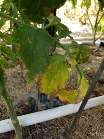 pruning tomatoes - Diseased branch