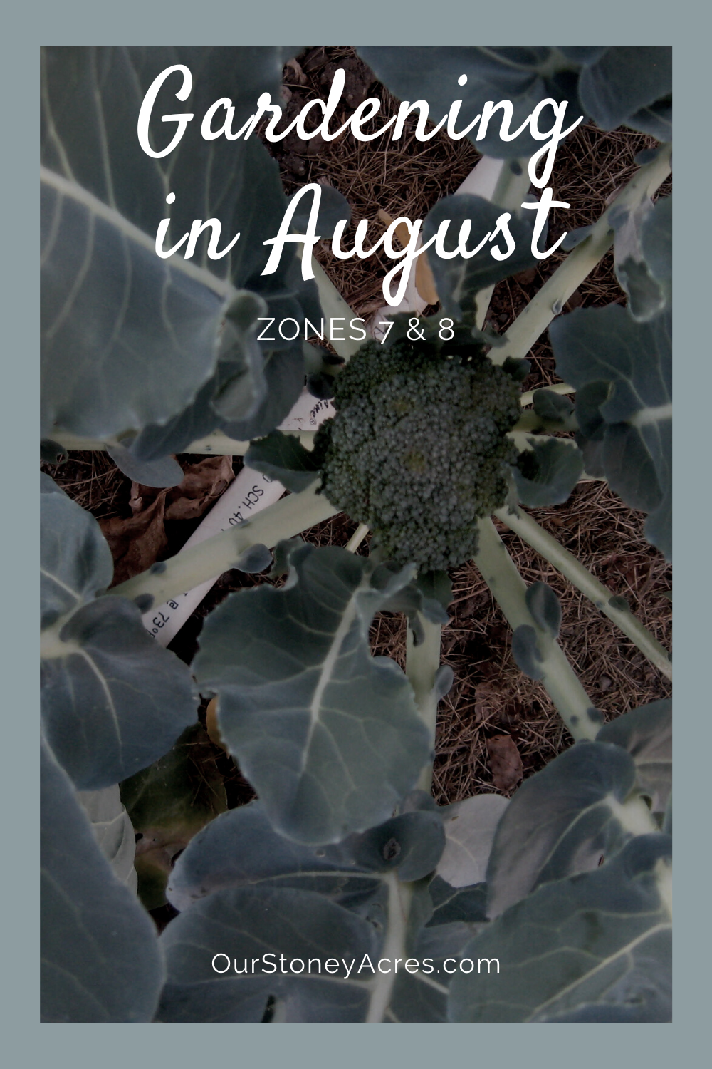 planting in August zones 7 and 8