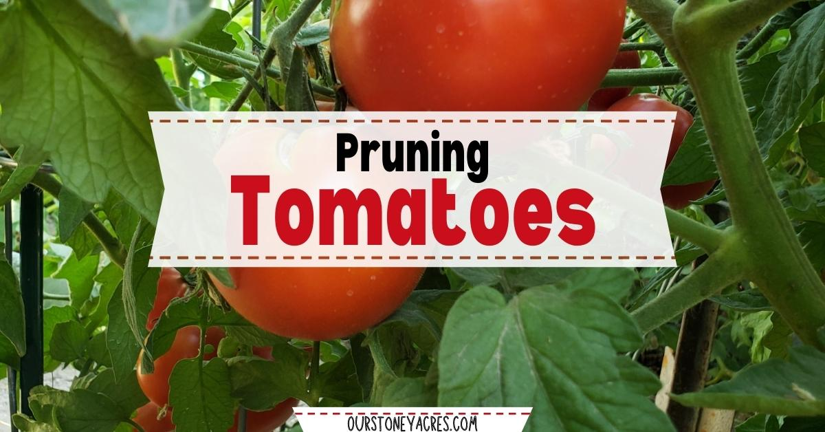 Learn how to Prune Tomatoes