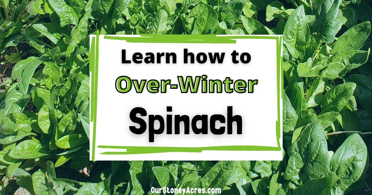 Growing Winter Spinach