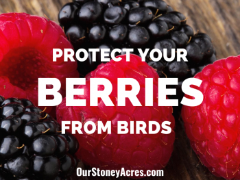 protect berries from birds