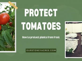 Protect tomatoes from frost