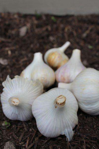 garlic in fall