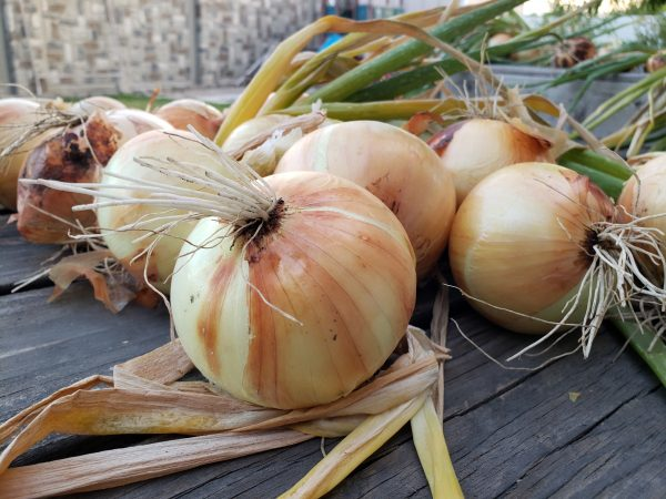 Planting onions in November