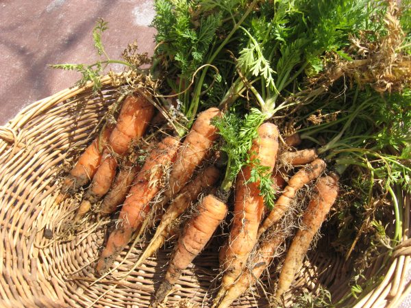 winter carrots from the garden