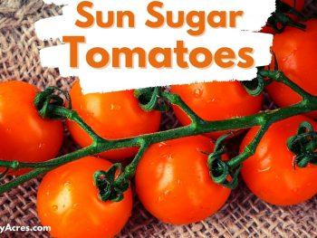 Sun Sugar Tomatoes