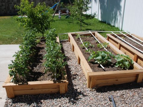 Raised beds planted in full sunshine.  beds are full of potatoes and squash plants growing in the mid summer sun.