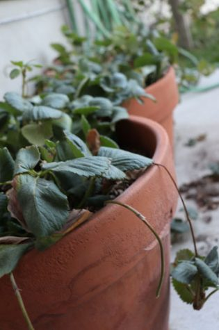 Containers full of strawberries need special attention to keep them wet.